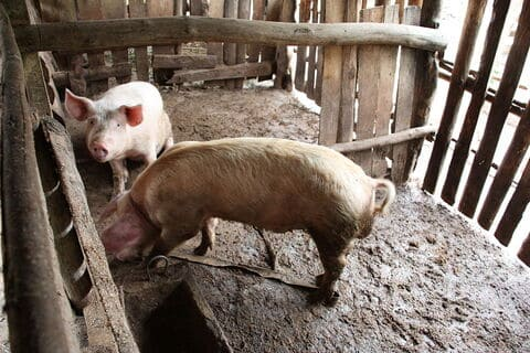 Feeding Pigs With Black Soldier Fly Larvae