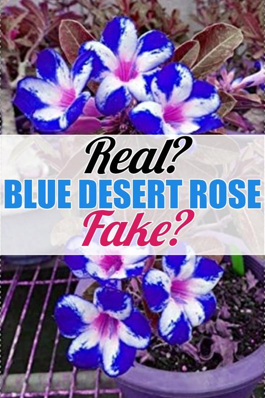 blue-desert-rose-real-or-fake