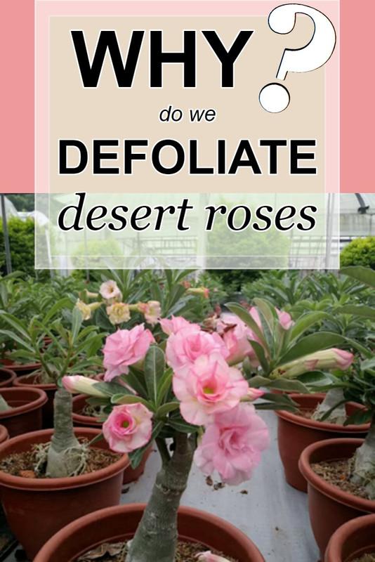 why-we-defoliate-desert-roses