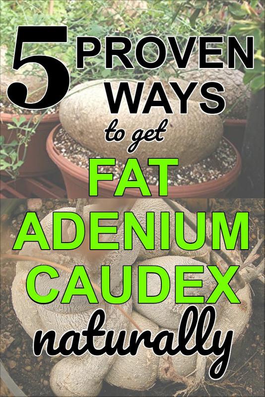 make-adenium-caudex-larger-bigger