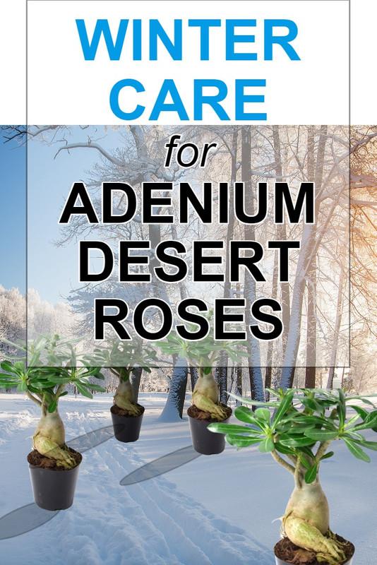 winter-care-for-adenium-plants