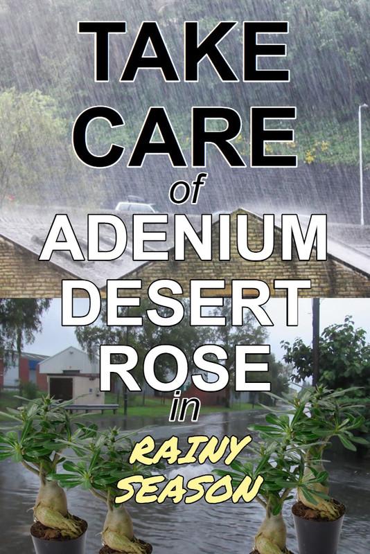 adenium-care-on-rainy-days