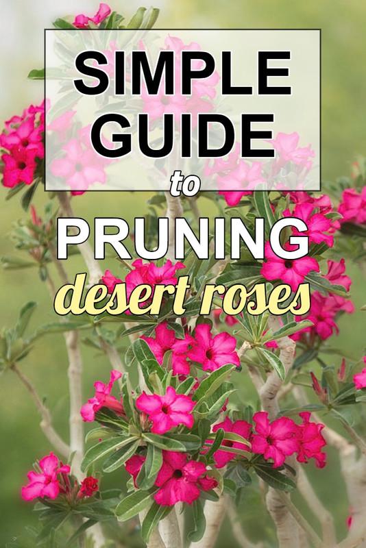 pruning-desert-rose-guide