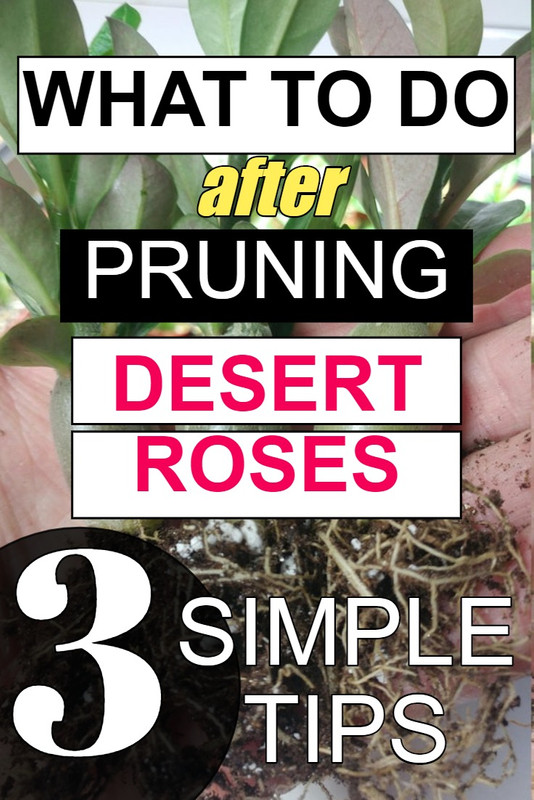 what-to-do-after-pruning-desert-roses