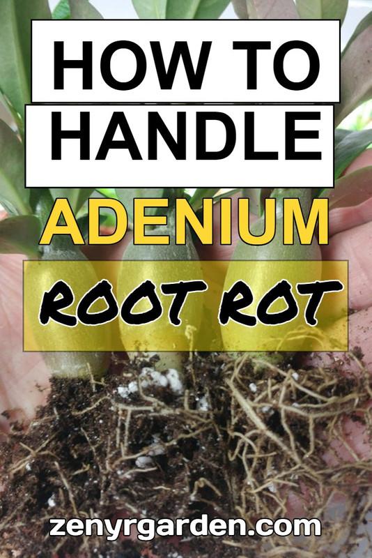 handle-adenium-root-rot
