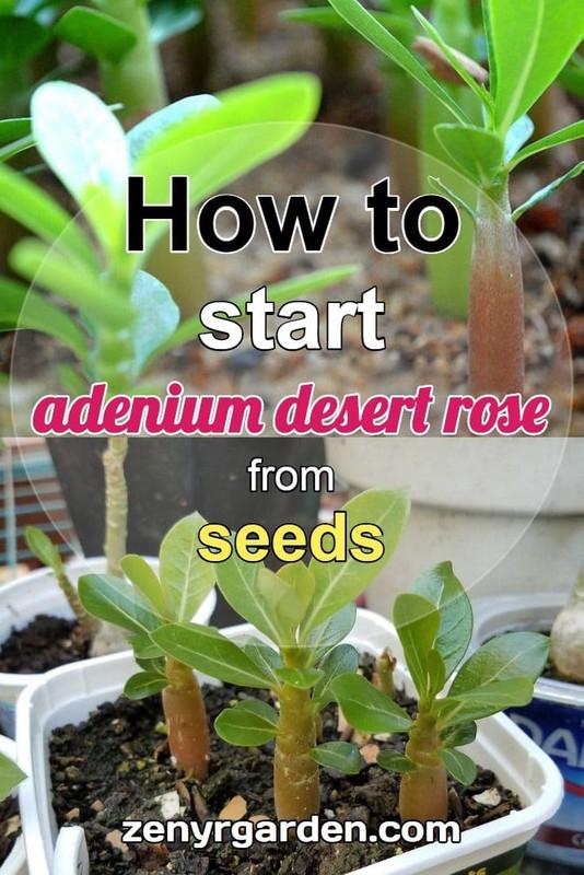 start-desert-roses-from-seeds