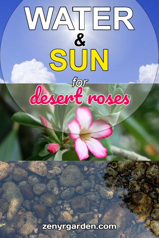 water-sun-for-desert-rose