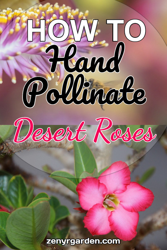how-to-hand-pollinate-desert-roses