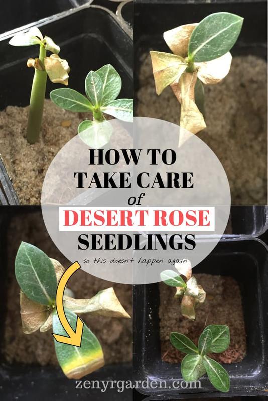 how-to-take-care-of-desert-rose-seedlings