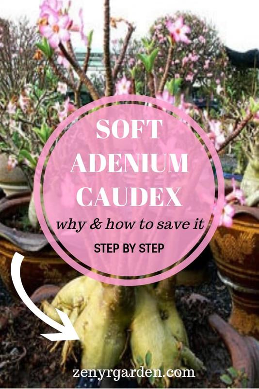 soft-adenium-desert-rose-caudex