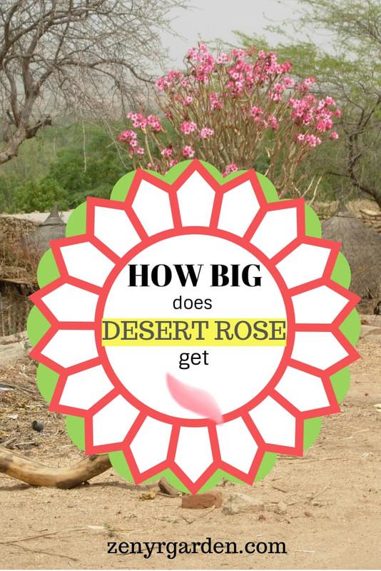 how-big-desert-rose-get