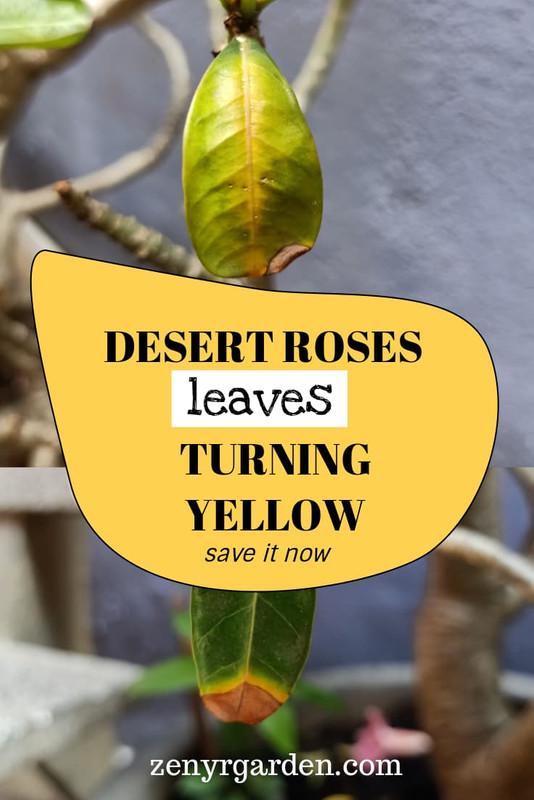 save-desert-rose-adenium-leaves-turning-yellow