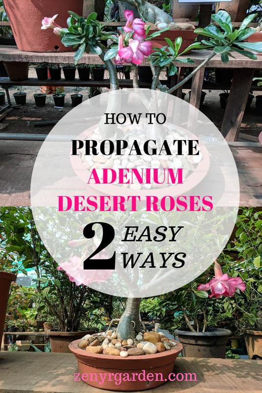 how-to-propagate-adenium-desert-roses