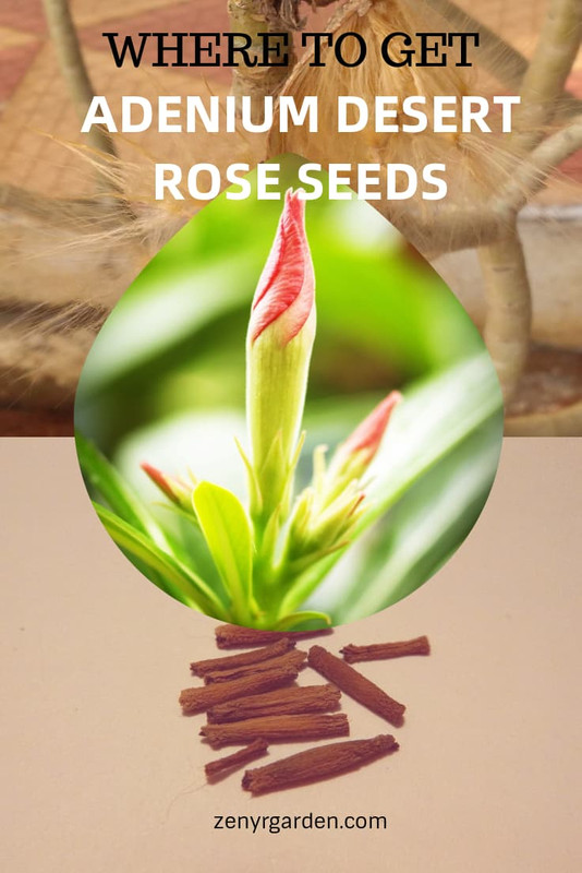 where-to-get-adenium-desert-rose-seeds