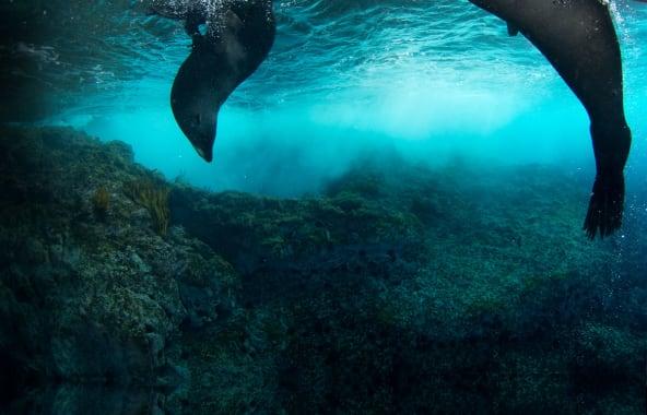 Seals diving