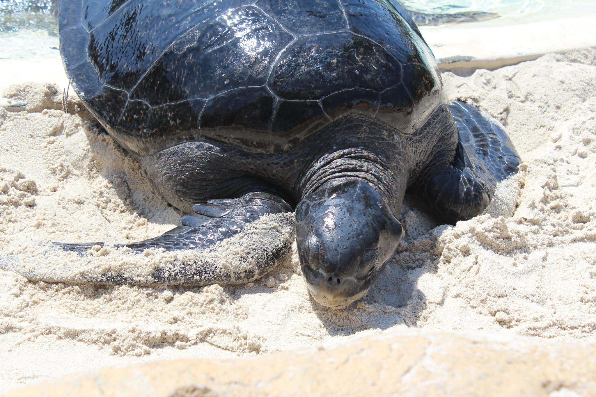 Loggerhead Sea Turtles in Turkey