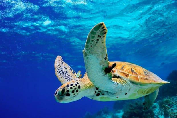 Sea turtles in Turkey sailing
