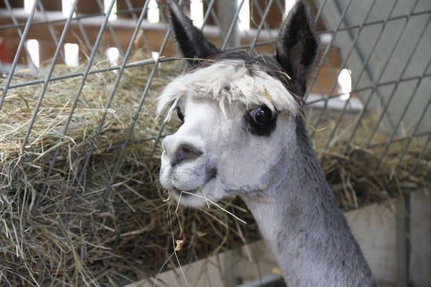 hungry alpaca eating