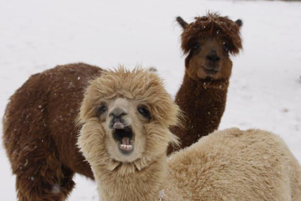 Laughing Alpacas