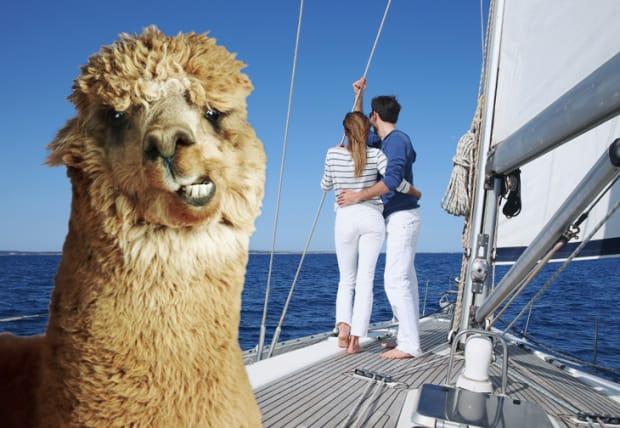 alpaca on a sailing boat
