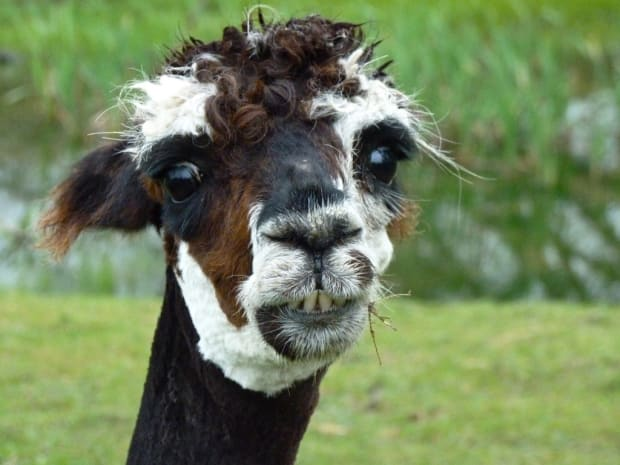 ugly alpaca