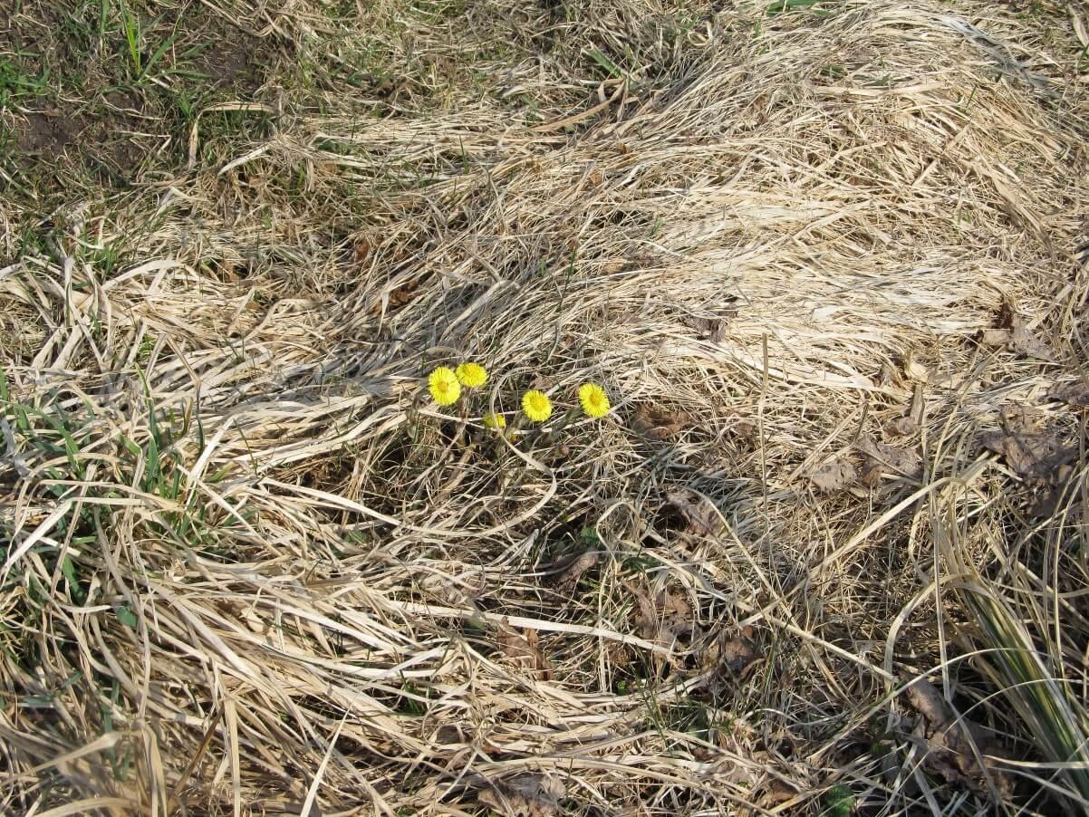 Karpis dar miega. Gražios, geltonos pavasario gėlės.