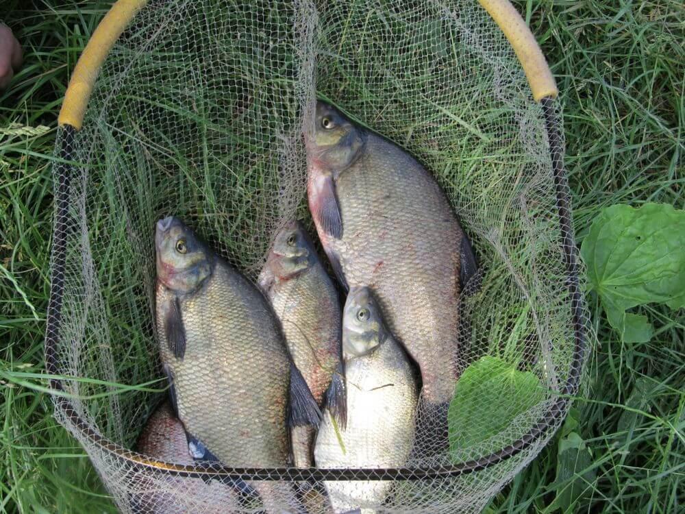 Feeder žvejyba. Karšiai.