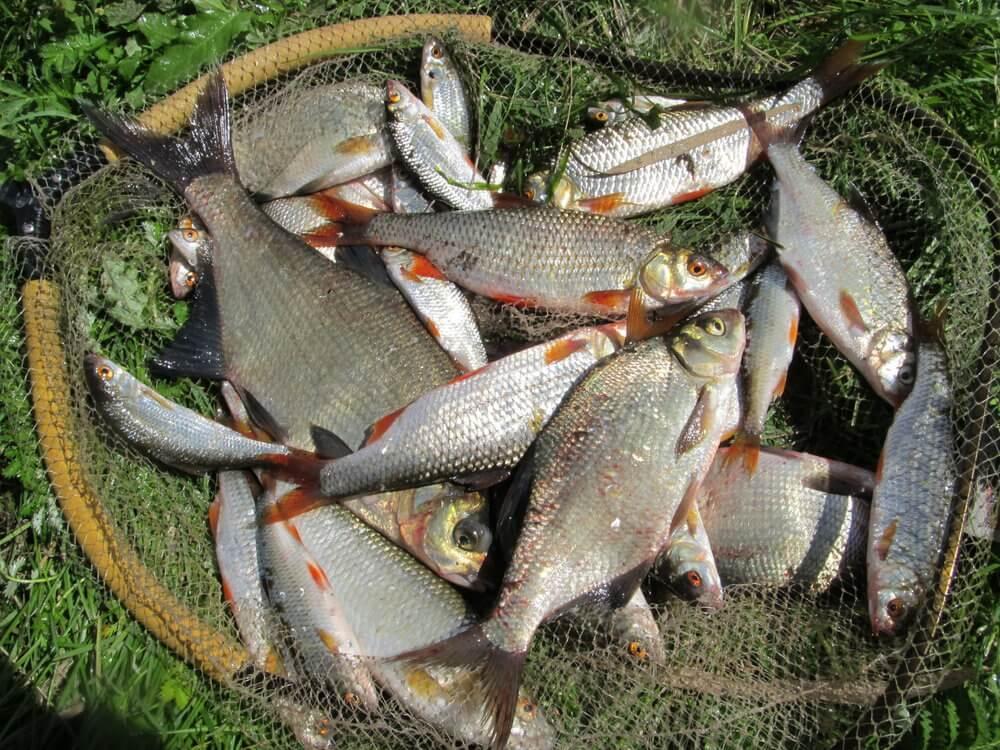 Heavy Feeder žvejyba Vilkokšnyje. Laimikis.